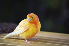 Röd faktorkanariefågel Arkivbild
