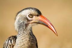 Röd-fakturerad hornbill Arkivfoton