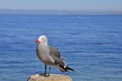 Röd-fakturerad Seagull Royaltyfri Bild
