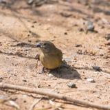 Röd-fakturerade Firefinch, kvinnlig Arkivbild