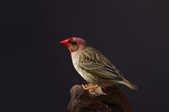 Röd-fakturerade Quelea som sätta sig på, vaggar royaltyfri bild