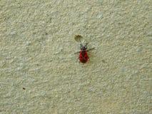Röd felängel på bakgrunden av cementväggen royaltyfri foto