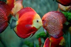 Röd fisk Arkivbilder
