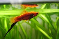 Röd fisk för akvarium arkivfoton