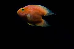 Röd fisk för blodförälskelsepapegojor arkivbild
