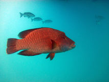 Röd fisk. Stor barriärrev Arkivbilder