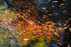 Röd fisksvärm Royaltyfria Bilder