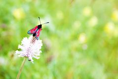 Röd fjäril på växt av släktet Trifolium, makrofoto arkivfoton