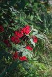 Röd fläderbär i skogen Royaltyfri Fotografi
