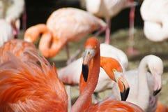 Röd flamingo fotografering för bildbyråer