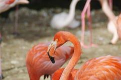 Röd flamingo Arkivbild