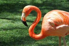 Röd flamingo Arkivfoton