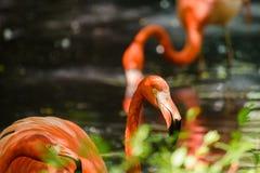 Röd flamingo från Sydamerika Royaltyfri Bild