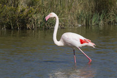 Röd flamingo i Camargue Arkivbilder