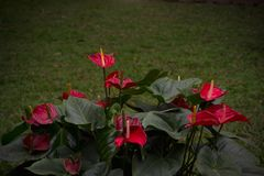 Röd flamingoblomma eller råttsvansAnthurium Royaltyfri Fotografi