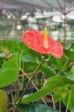Röd Flamingoliljablomma, Amthurium Royaltyfria Bilder
