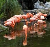 Röd flamingopacke i ekologisk biopark. Arkivbilder
