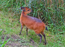 Röd-flankerad Duiker, en mycket liten antilop Arkivbild