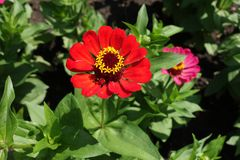 Röd flowerhead av den gemensamma zinniaen i sommar Royaltyfri Foto