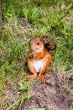 Röd fluffig ekorrematställe som äter muttrar Fotografering för Bildbyråer