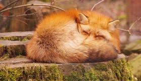 Röd fluffig rävsömn Royaltyfri Fotografi