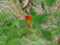 Röd fody fågel från Mauritius Arkivbilder