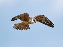 Röd-footed falk (den Falco vespertinusen) Royaltyfri Bild