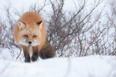 Röd fox2 Arkivfoto