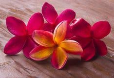 Röd frangipani Arkivfoto