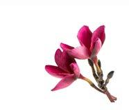 Röd frangipaniblomma Arkivfoton
