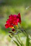 Röd freesia Arkivfoton