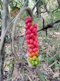 Röd frukt Royaltyfri Fotografi