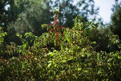 Röd frukt Fotografering för Bildbyråer