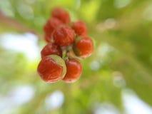 Röd frukt Arkivbild