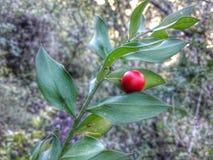 Röd frukt Royaltyfri Bild