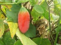 Röd frukt Arkivfoton