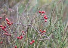 Röd frukt av löst steg (den Rosa caninaen) i höst med solig bakgrundssolnedgång Fotografering för Bildbyråer