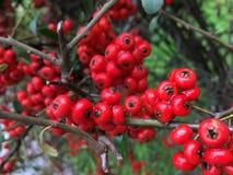 Röd frukt för höst royaltyfri foto