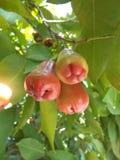 Röd frukt för rosjava äpplen Royaltyfria Foton