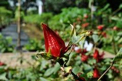 Röd frukt kallas också drakefrukt arkivbild