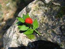 Röd frukt med gröna sidor Arkivfoto