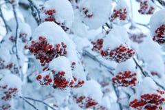 Röd frukt med snö Arkivfoton
