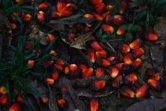 Röd frukt som gömma i handflatan från olja royaltyfri fotografi