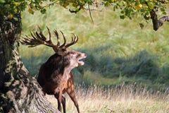 Röd fullvuxen hankronhjort som vrålar i brunstig säsong fotografering för bildbyråer