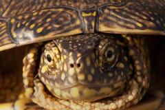 Röd gå i ax glidaresköldpadda i det löst, omgivet av typisk flora Royaltyfri Foto