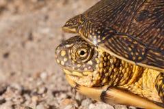 Röd gå i ax glidaresköldpadda i det löst, omgivet av typisk flora Arkivbilder