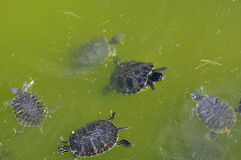 Röd-gå i ax sköldpaddor arkivbilder