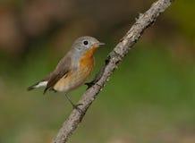 Röd-gången mot flugsnappare (den Ficedula parvaen) Fotografering för Bildbyråer