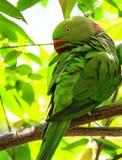 Röd-gången mot parakiter arkivfoton