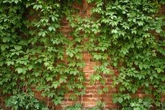 Röd gammal tegelstenvägg med klättringväxter Arkivfoto